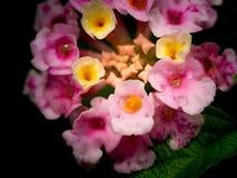 Regendalingen op de Gele Roze Haagbloemen die worden neergestreken stock fotografie