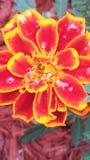 Regendalingen op een bloem royalty-vrije stock afbeelding