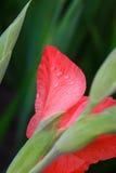 Regendalingen op een roze close-up van de gladiolenbloem Stock Afbeelding