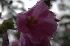 Regendalingen op roze bloemblaadjes Stock Foto