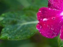 Regendalingen op Roze Vinca Flower worden neergestreken die stock foto's