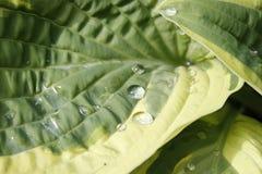 Regendruppel en vlieg op een groene installatie Stock Foto's