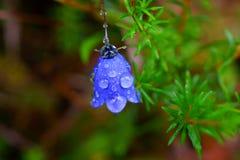 Regendruppels op alpiene blauwe bloem Stock Afbeeldingen