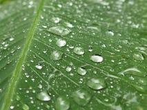 Regendruppels op Banaanblad Stock Afbeeldingen