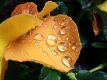 Regendruppels op bloemblaadjes Stock Afbeeldingen