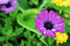 Regendruppels op bloemen Stock Fotografie