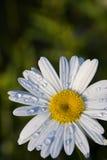 Regendruppels op Daisy Royalty-vrije Stock Afbeeldingen