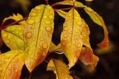 Regendruppels op dalingsbladeren Stock Foto's