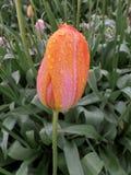 Regendruppels op de Roze en Gele Tulpen in de Tuin Royalty-vrije Stock Foto