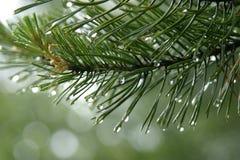 Regendruppels op de sparnaalden Stock Afbeeldingen