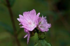 Regendruppels op een alpiene bloem Stock Afbeelding