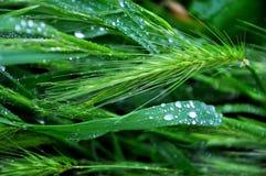Regendruppels op een gebied van gras Stock Afbeeldingen