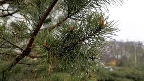 Regendruppels op een pijnboomtak stock videobeelden