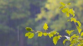Regendruppels op een tak met bladeren stock videobeelden