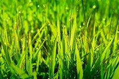Regendruppels op grassprietjes Royalty-vrije Stock Foto's