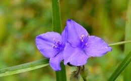 Regendruppels op Iris royalty-vrije stock fotografie