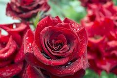 Regendruppels op roze bloemblaadjes Royalty-vrije Stock Foto