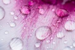 Regendruppels op roze tulpenblad Royalty-vrije Stock Afbeelding
