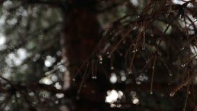 Regendruppels op sparren stock footage