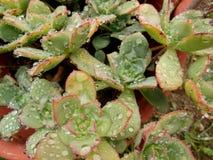 Regendruppels op Succulents royalty-vrije stock afbeeldingen