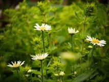 Regendruppels op witte wildflowers Stock Afbeeldingen