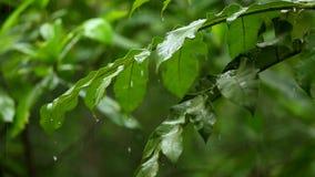 Regenende bosboom groene bladeren stock footage