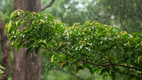 Regenende bosboom groene bladeren stock video