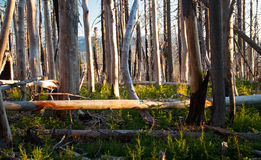 Regenerating Burned Pine Forest in Central Oregon Royalty Free Stock Photography