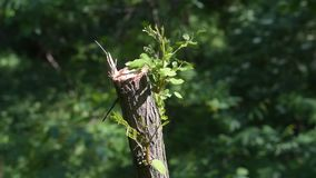 Regeneration of nature. Sawn down tree starts to grow new leaves. stock video footage