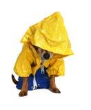 Regenhund Stockbild