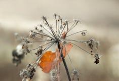 Regenschirm Aegopodium-podagraria Stockfoto