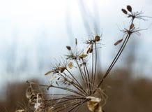 Regenschirm Aegopodium-podagraria Stockfotografie