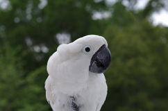 Regenschirm-Kakadu im wilden Lizenzfreies Stockbild