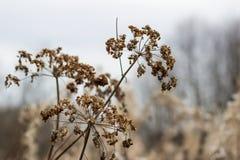 Regenschirme Aegopodium-podagraria Lizenzfreie Stockfotografie