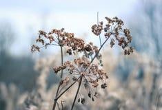 Regenschirme Aegopodium-podagraria Stockfotos