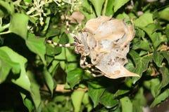 Regenspin (Palystes-superciliosus) op eicocon Stock Foto's