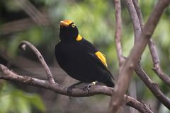 Regent bowerbird Stock Photos