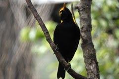 Regent bowerbird. The regent bowerbird is perched in a bush Stock Photos
