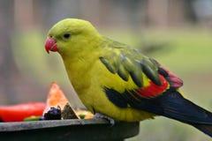 Regent-Papagei Lizenzfreie Stockfotografie