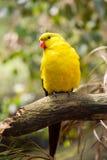 Regent papuga Zdjęcie Royalty Free