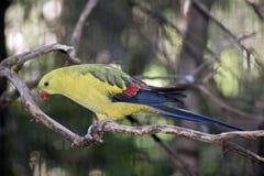 Regent papuga Obraz Stock