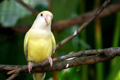 Regent parakeet on branch. A regent parakeet on the branch looking with one eye.  This shot was taken at KL bird park Royalty Free Stock Photos