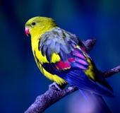 Regent Parrot photos libres de droits