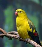 Regent Parrot Royaltyfria Foton