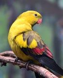 Regent Parrot Royaltyfri Fotografi