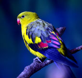 Regent Parrot Royalty Free Stock Photos
