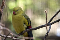 Regent parrot. This is a close up of a regent parrot Stock Images