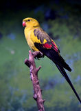 Regent Parrot Royalty Free Stock Images