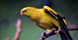 Regent Parrot Stock Photos