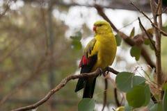 Regent Parrot - perroquet long-coupé la queue mince étant perché étant perché sur le tre image stock